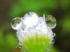 #Dew #Dewdrops #Raindrops #Waterdrops #Flowers  #Flower #Green #White (Source:  だいぶつ (@ishikawadaibutu) | Twitter  | 13 May 2016 |  THIS Post: 14 May 2016 (Saturday)