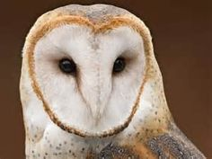 owls in the wild - Bing Images