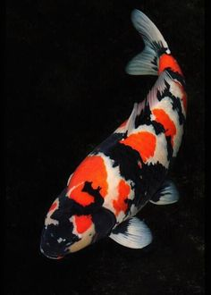 koi I want to stock pond with