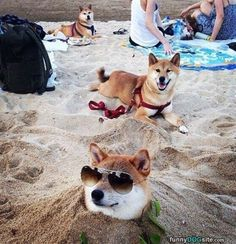 Shibas seriously enjoying the beach!