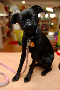 Black Brussels Griffon Puppy! @Jessica Brown You need this dog!!!