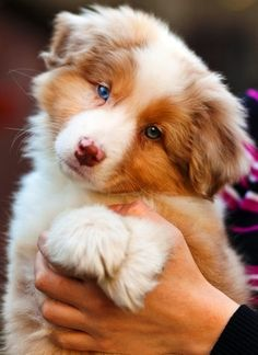 This site says this is a Collie. I believe it is an Australian Shepherd. Either way, it's a cute puppy! Top 10 Most Affectionate Dog Breeds