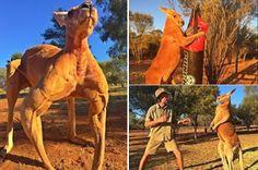 [Video] Kanggaru Sado Tarik Perhatian Di Australia   ADELAIDE  Seekor kanggaru yang diberi nama Roger berjaya menarik perhatian rakyat Australia apabila badan sadonya menjadi viral di media sosial.Tampak seperti atlet bina badan Roger memiliki badan kekar termasuk bisep yang berotot selain dada yang kelihatan bidang.Maka tidak hairanlah Roger kini menjadi tumpuan di The Sanctuary Kangaroo Alice Springs yang terletak di wilayah utara Australia.Roger pernah menjadi perhatian tahun lalu apabila…