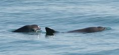 Vaquitas are the world's rarest marine animal, with fewer than 100 surviving individuals. An estimated 20 percent of these creatures are killed when they become entangled in gillnets designed to trap other ocean life. Found primarily in the upper Gulf of California, vaquitas are also badly affected by environmental pollution and overall degradation of their habitat.