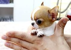 Sweet Apple-Head Chihuahua Puppy