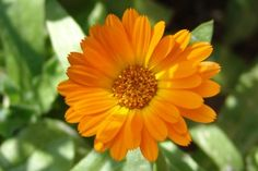 Calendula oil when applied directly to the ear can reduce earache and the tea is helpful in treating ear infections.