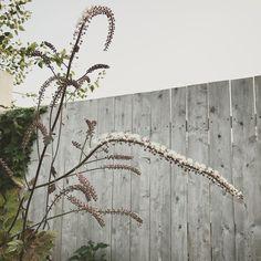 Cimicifuga Lindsey Taylor gardens