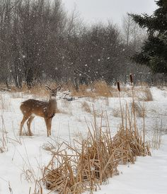 cat tails and deer