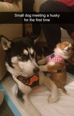 Canine Hypothyroidism: What You Need To Know - Funny Husky Meme - Funny Husky Quote - Animal Pictures That Make You Laugh Uncontrollably 2 The post Canine Hypothyroidism: What You Need To Know appeared first on Gag Dad. Husky Humor, Funny Husky Meme, Dog Quotes Funny, Funny Animal Memes, Cute Funny Animals, Cute Baby Animals, Funny Cute, Funny Dogs, Wild Animals