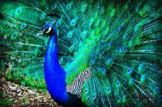 Stunning peacock. Taken by Bev Thompson.