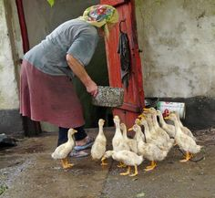 Russian countryside, they are poor! Woman feeding young geese.