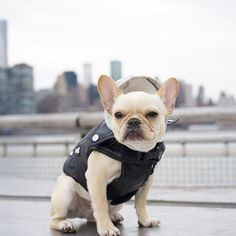 """""""Leather jackets.... One thing you can never have too many of.."""", Leo, the French Bulldog, @frenchieleo #leatherjacket"""