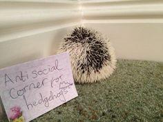 Not a very sociable hedgehog
