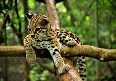 im fall in love with margay cat Rare Animals, Animals Images, Animals And Pets, Animal Pictures, Small Wild Cats, Small Cat, Big Cats, Ocelot, Margay Cat