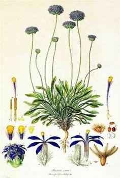 Brunonia australis by Ferdinand Bauer. https://www.anbg.gov.au/gallery/art-by-artist.html