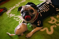 That's one cute pug, no bones about it!