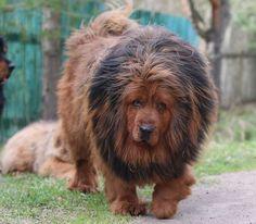 Tibetan Mastiff Mastiff Puppies For Sale, English Mastiff Puppies, Mastiff Dogs, Giant Dog Breeds, Giant Dogs, Large Dog Breeds, Tibetan Dog Breeds, Tibetan Mastiff Dog, Dogue Du Tibet