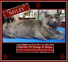 Look how handsome Miles is! Cat Hairstyles, Cat Grooming, Pretty Cats, Healthy Choices, Handsome, Things To Come, Pets, Hair Styles, Animals