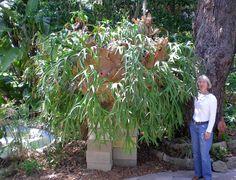 huge-staghorn-fern http://www.melbourne-palm-bay-living.com/wp-content/uploads/2011/05/huge-staghorn-fern.jpg