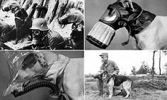 A collection of amazing pictures has emerged showing it was common place for dogs to be equipped with breathing apparatus in World War II. The photographs demonstrate how often dogs were called upon to help with the war effort.