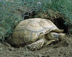 I have seen numerous suggestions for Russian tortoise diet Some great Some awful. Russian Tortoises are nibblers and appreciate broad leaf plants. Tortoise Vivarium, Tortoise Habitat, Sulcata Tortoise, Tortoise Care, Red Footed Tortoise, Giant Tortoise, Tortoise Turtle, Turtle Care, Tortoise House