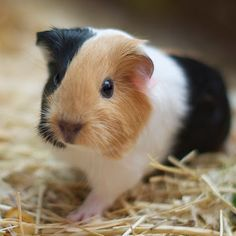 Pops the 1 week old guinea pig by Natasha Giles - Animals Other Mammals ( pet, pets, baby, cute, guinea pig, guinea pigs, )