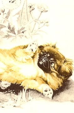 Pekingese Puppy Rolls Around in the Garden by Dorothy P Lathrop