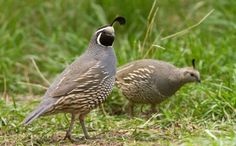 Quails belong to the pheasant family. These are medium-sized and feed mainly on seeds and insects. Certain species of quail are hunted in the wild or on farms, raised to be cooked, or even produce eggs.