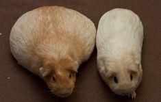 Pregnant guinea pig!
