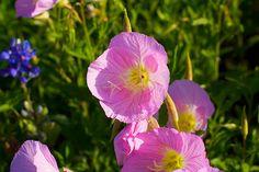 Flores silvestres no Texas, USA.  Fotografia: Josh Trefethen no Flickr.