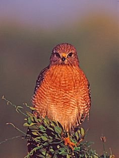 Red-shouldered Hawk in Early Morning Light, Everglades National Park, Florida, USA