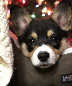 Welsh Pembroke Corgi Merry Happy Christmas Day Card Puppy Holiday Dogs Santa Claus Dog Puppies Xmas #MerryChristmas
