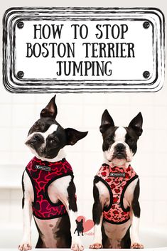Discover why your Boston Terrier jumps and how to stop it! Boston Terrier Temperament, Boston Terrier Dog, Terrier Dogs, Dog Jumping Fence, Terrier Breeds, Dog Breeds, Purebred Dogs, Dog Behavior, Dog Training Tips