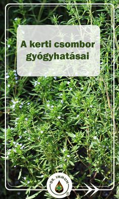 Helichrysum Italicum, Health 2020, Kraut, Natural Remedies, Herbalism, Medicine, Spices, Herbs, Nature