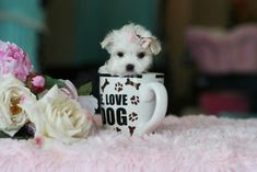 Teacup Puppies Store - Our Teacup Puppies from our Store