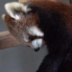 TIL Red Pandas have built-in pillows Super Cute Animals, Cute Little Animals, Cute Funny Animals, Cute Cats, Cutest Animals, Cute Animal Videos, Cute Animal Pictures, Animal Pics, Photo Panda