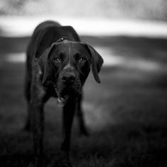 German Short-haired Pointer, i am obsessed with this breed Black Lab Puppies, Dogs And Puppies, Corgi Puppies, German Shorthaired Pointer Black, Best Friends Pets, Short Haired Pointer, Best Dogs For Families, Dog Grooming Business, Pointer Dog
