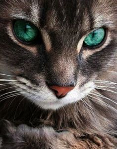 Beautiful cat with turquoise eyes...  This is for you Hillary!