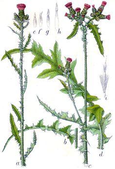 Myrtistel- cirsium palustre - edible leaves+stalks+roots
