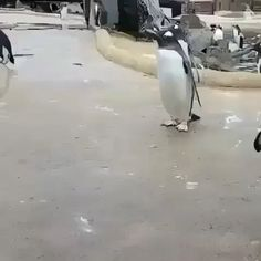 Cute baby animals videos compilation made up of numerous adorable baby animals clips. Watch them doing fun and enjoying their clam life which will definitely bring a broad smile on your face. Funny Animal Videos, Cute Funny Animals, Funny Animal Pictures, Cute Baby Animals, Funny Cute, Animals And Pets, Funny Penguin Videos, Penguin Meme, Penguin Animals