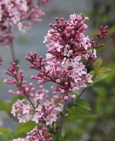 SYRINGA microphylla 'Josée' Syringa, Lilac, Plants, Lilac Bushes, Plant, Lille, Syringa Vulgaris, Planting, Planets