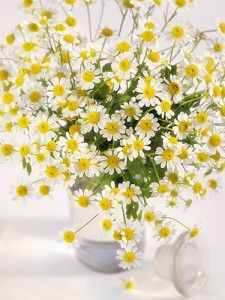 Grow chamomile plant to make your own tea!