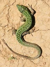 Les Reptiles, Cute Reptiles, Reptiles And Amphibians, Animals Of The World, Animals And Pets, Cute Animals, Geckos, Bizarre Animals, Small Lizards