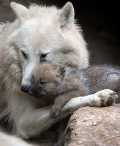 An Arctic Wolf ~ With Her Pup.