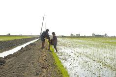 Omplint el cabàs per resembrar un camp d'arròs. Plantar, Railroad Tracks, Country Roads
