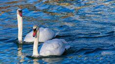 Ptaki, Dwa, Łabędzie, Białe, Para, Woda
