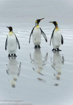 King Penguins by Michael Leggero on 500px