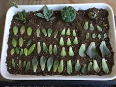 How to Propagate Succulents from Leaves: 5 Steps (with Pictures) Propagation, Succulents, Plants, Desserts, Garden, Food, Tailgate Desserts, Deserts, Eten