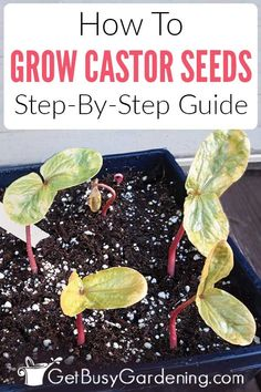 How To Grow Castor Bean Plant From Seed Growing castor beans from seed can be challenging. Fall Vegetables, Growing Vegetables, Growing Plants, Growing Seeds, Growing Tomatoes, Gardening For Beginners, Gardening Tips, Castor Bean Plant, All About Plants