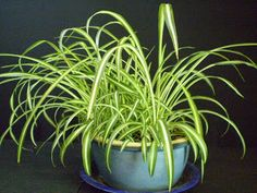 Plants are the Strangest People: Single Mother (Chlorophytum comosum) Succulents Garden, Garden Plants, Chlorophytum, Spider Plants, Crazy People, Houseplants, Planters, Image, Central America